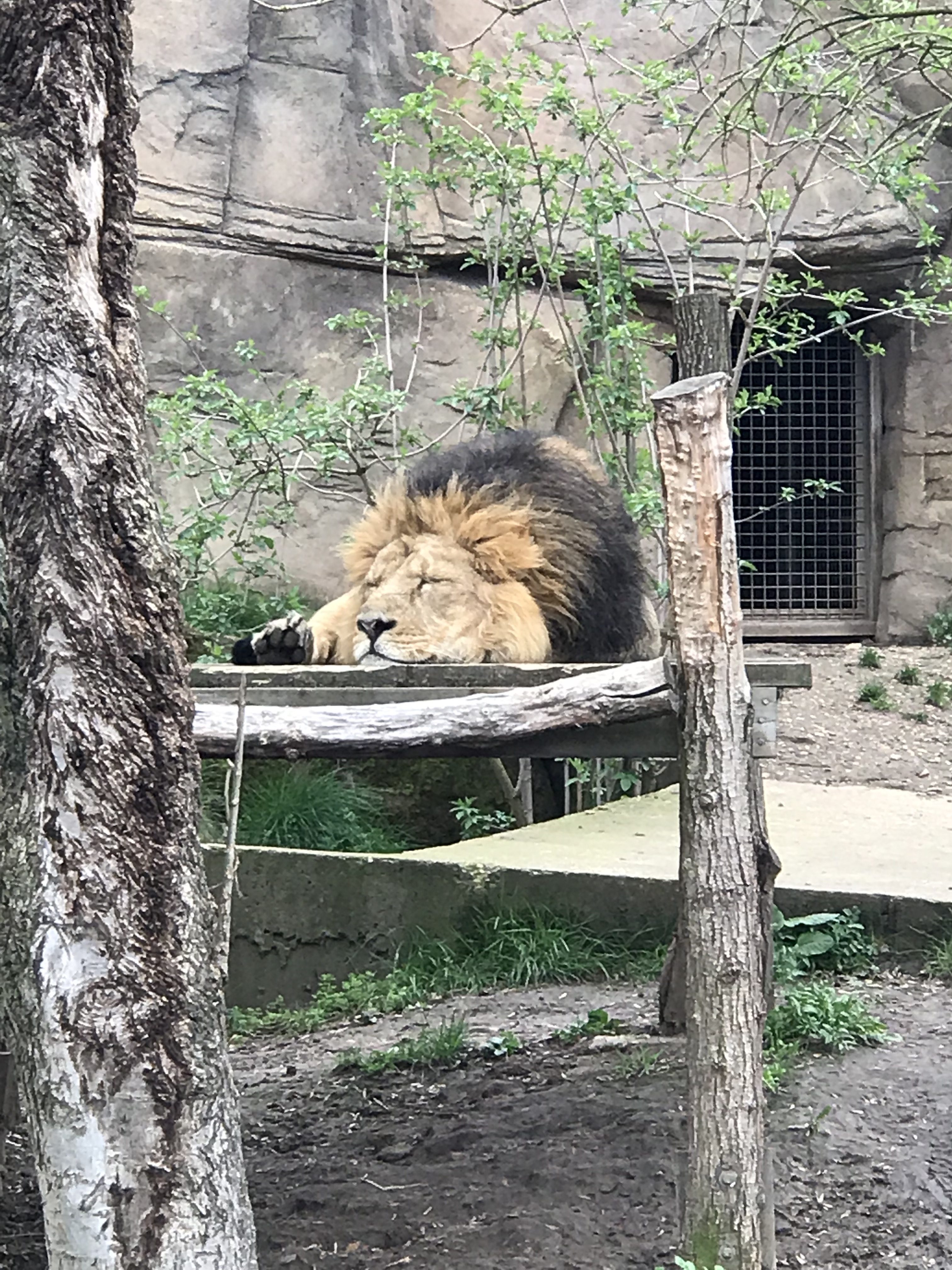 Large sleeping male Lion at the London Zoo