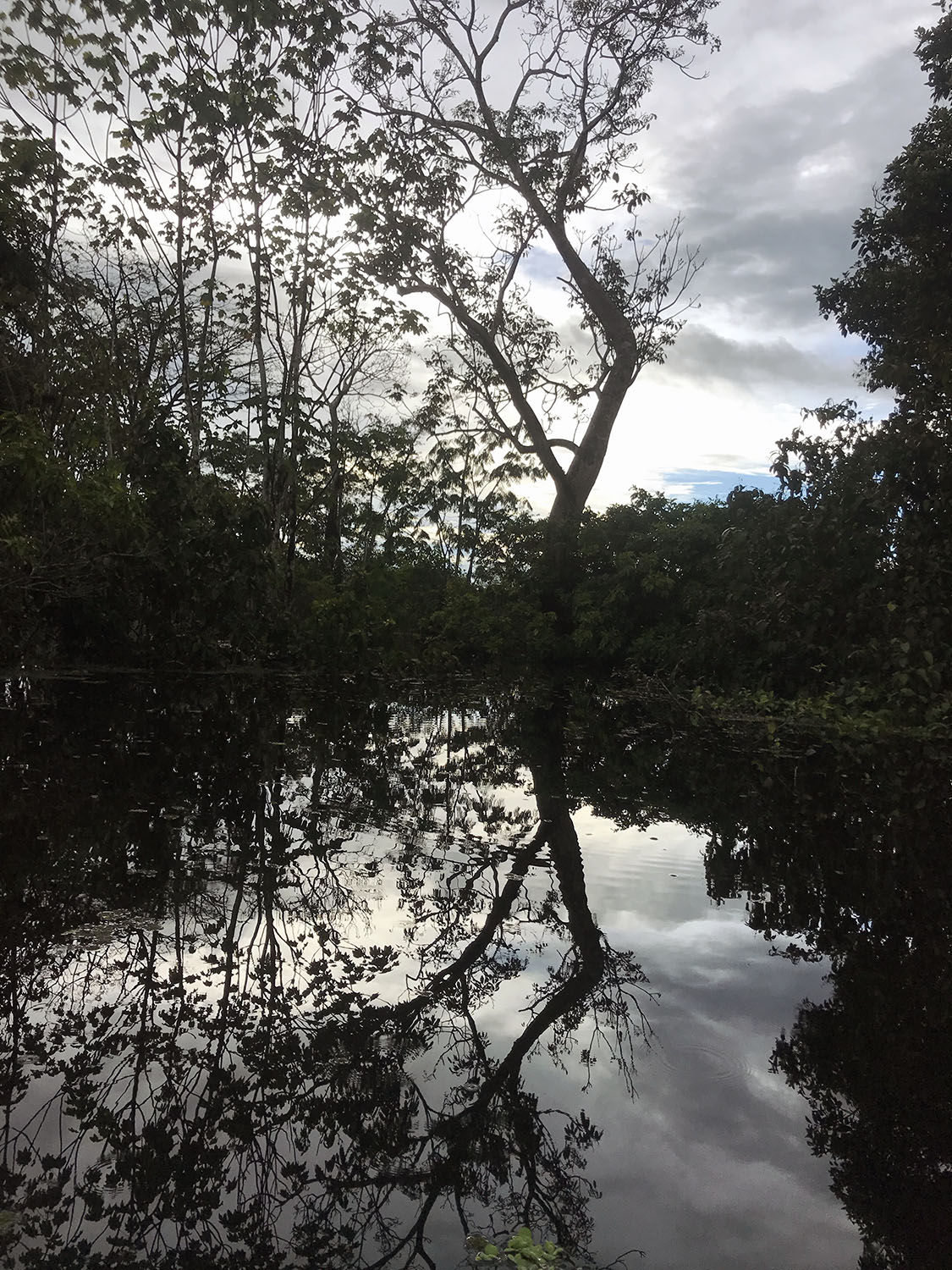 Trees reflecting in the water at dusk in the flooded jungle