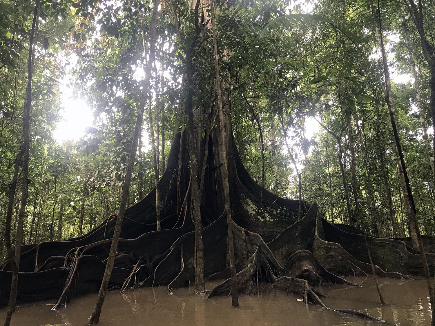 amazingly huge ancient Cieba tree in the flooded forest