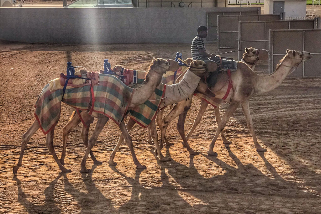 Camels on the racetrack