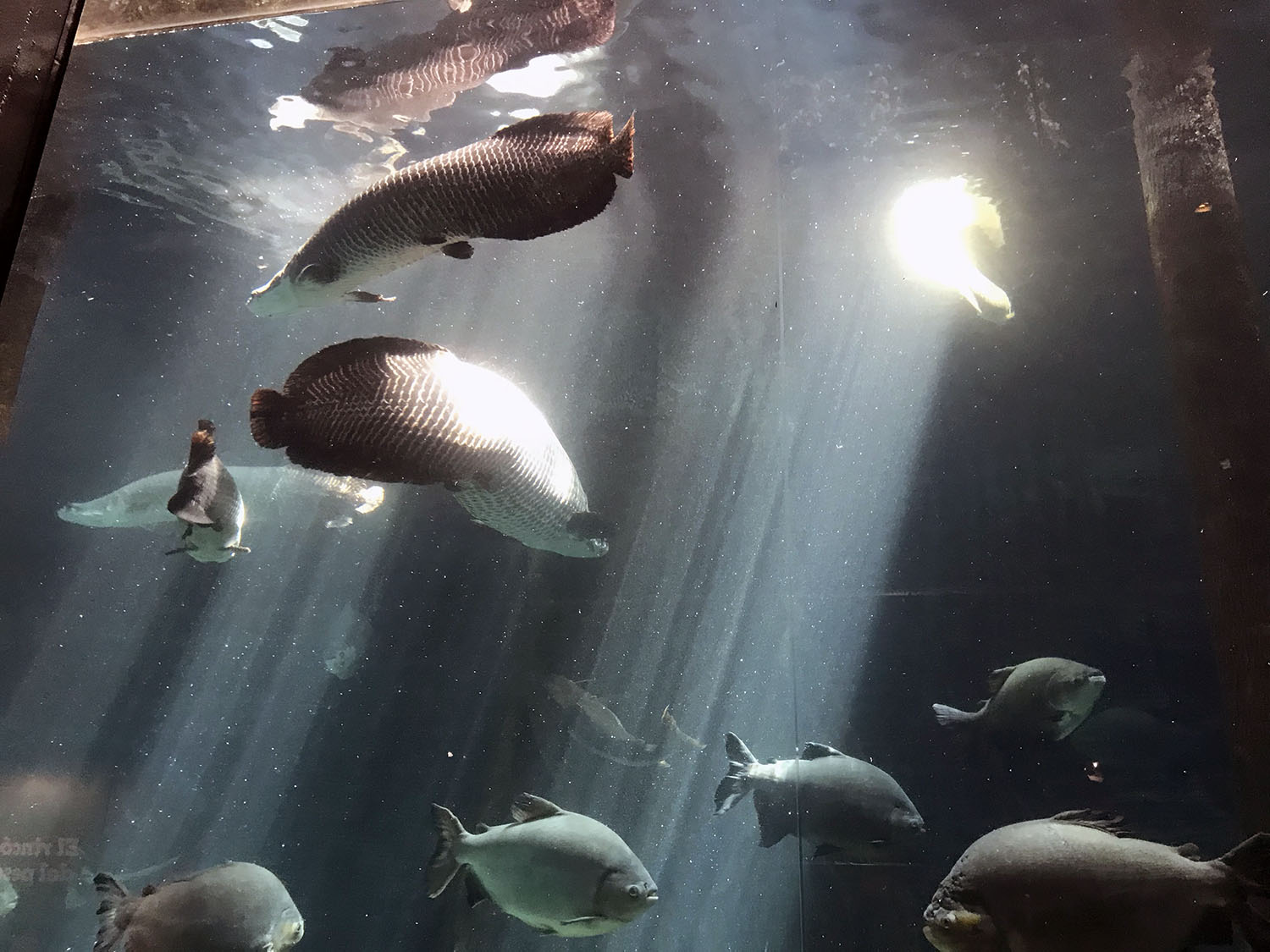Aquarium of Amazon fish